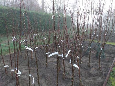 Arbres fruitiers racines nues